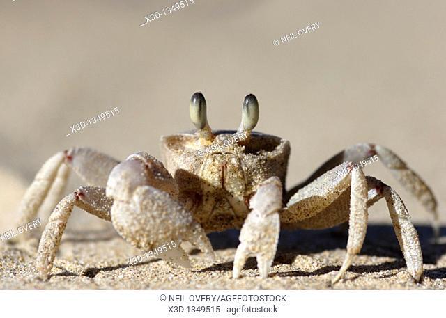 Ghost Crab Ocypode cordimana, South Africa