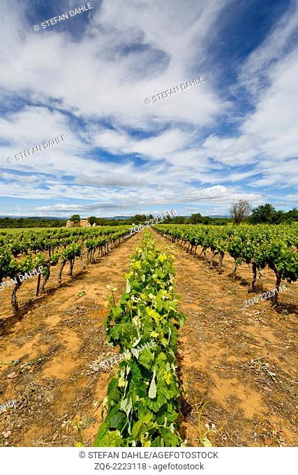 Vine Stock near Bonnieux, Provence, France