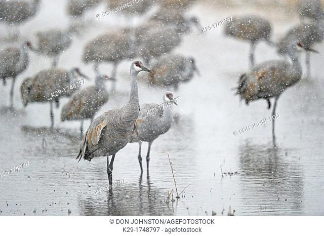 Sandhill Crane Grus canadensis Flock roosting pond during snowstorm Bosque del Apache NWR, New Mexico, USA