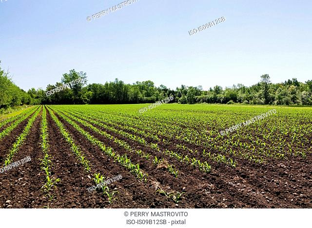 Corn plant seedlings in field