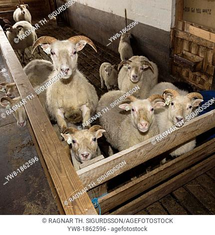 Ewes and lambs inside barn, Iceland