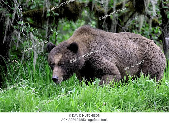 Taken at the Khutzeymateen Grizzly Bear Sanctuary about 40km NE of Prince Rupert on BC's north coast