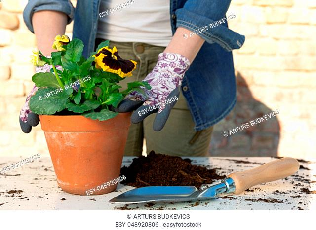 Gardeners hands planting flowers in pot with dirt or soil. Gardening concept