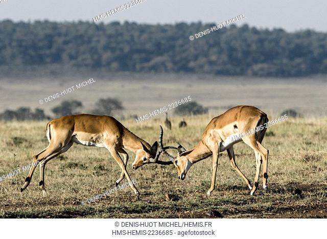 Kenya, Masai Mara game reserve, Impala ( (aepyceros melampus), male fight