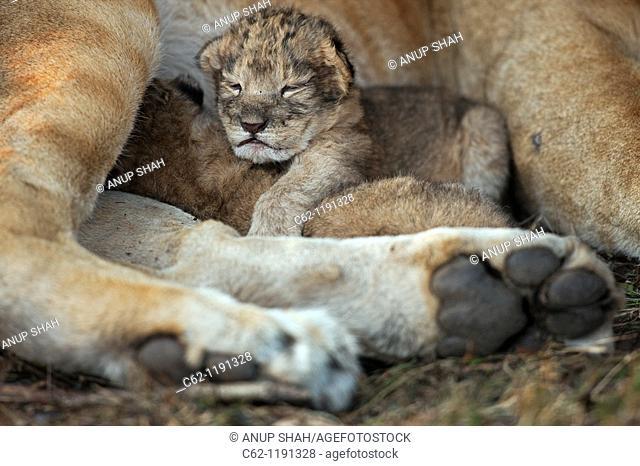 Lion (Panthera leo) cub aged less than 2 days old with it's mother, Maasai Mara National Reserve, Kenya