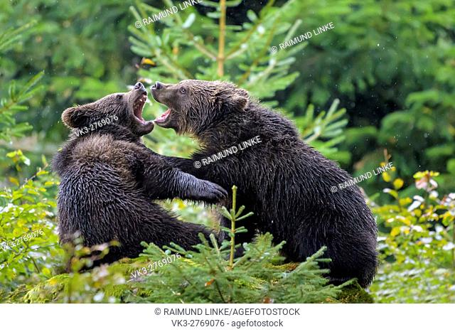 Brown Bear, Ursus arctos, Cubs fletching teeth, Bavaria, Germany