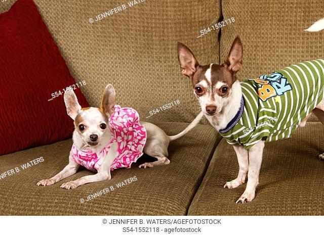 Two chihuahuas wearing clothing and sitting on a sofa indoors