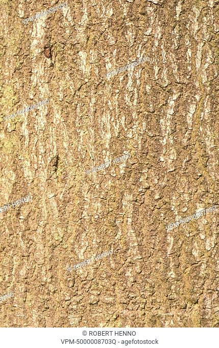 FAGUS SYLVATICAEUROPEAN BEECHDETAIL OF BARK