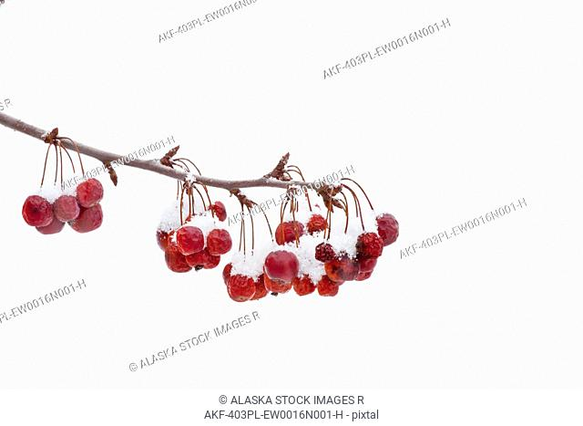 View of fresh snow on crab apples hanging from a branch in Connecticut, Winter