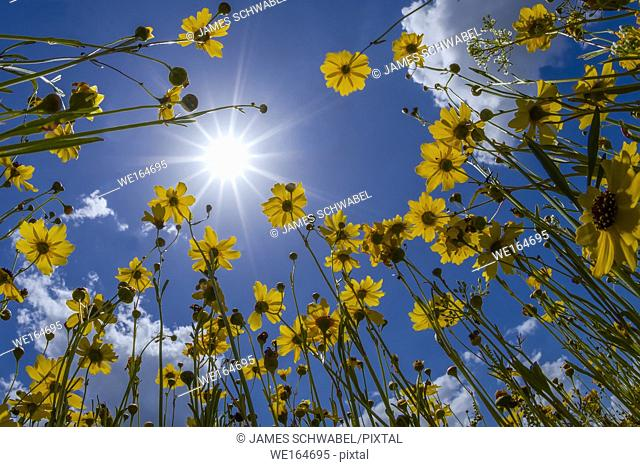 Yellow Florida Tickseed (Coreopsis floridana) in bloom from underneath against a blue sky in Myakka River State Park Sarasota Florida