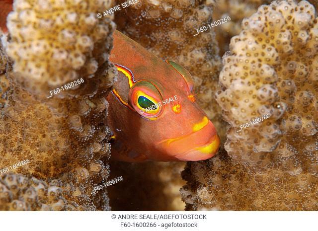 Close-up of an Arc-Eye Hawkfish, Paracirrhites arcatus, Oahu, Hawaii, USA
