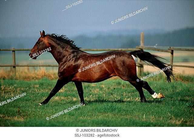 Hannoveranian horse