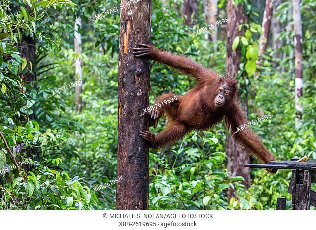 Reintroduced adult orangutan, Pongo pygmaeus, Camp Leakey, Tanjung Puting National Park, Borneo, Indonesia