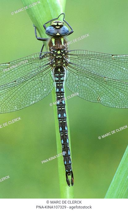 Hairy Dragonfly Brachytron pratense - Hageven, Neerpelt, Limburg, Flanders, Belgium, Europe