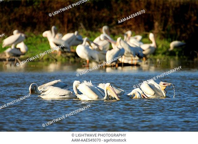 White Pelicans feeding (Pelecanus erythrorhynchos) Eco Pond, Everglades National Park, FL