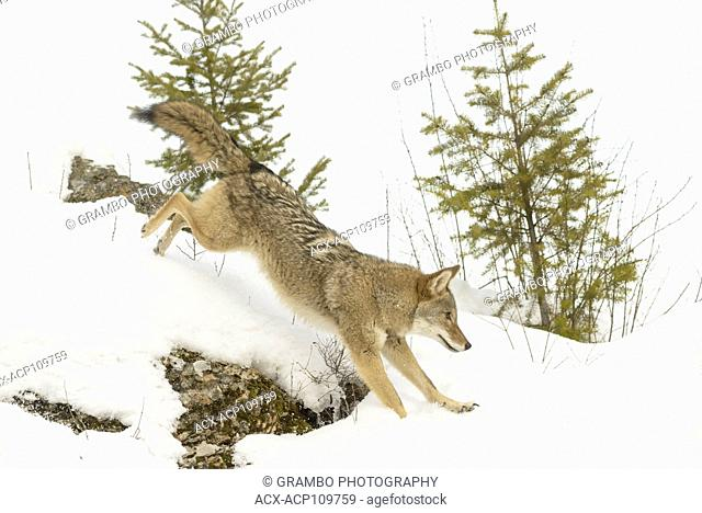 Coyote, Canis latrans, in winter, Montana, USA