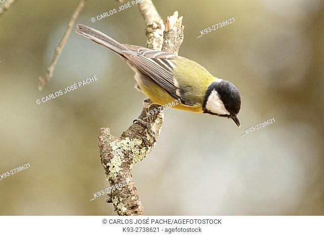 Spain, Extremadura, Great tit (parus major) perching on twig