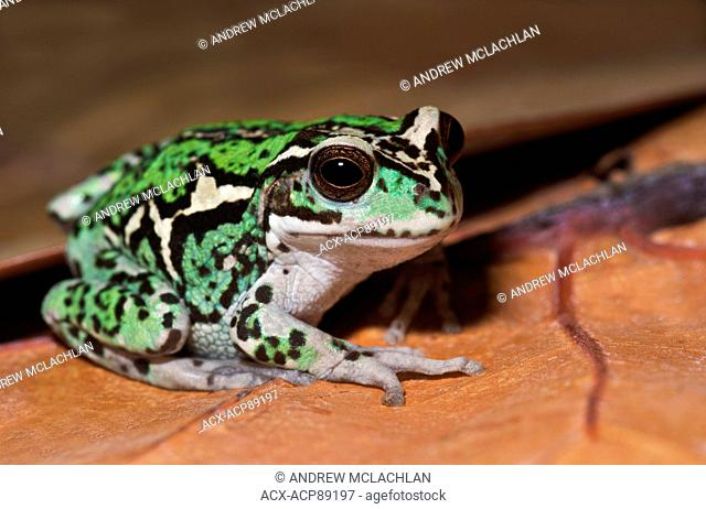 Andean Marsupial Tree Frog (Gastrotheca riobambae) - captive specimen. This tree frog is endemic to Ecudaor
