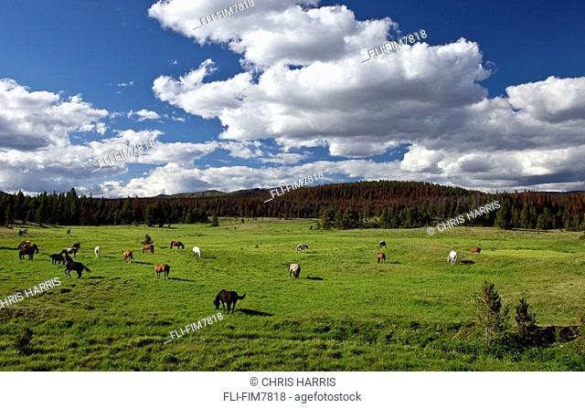 Horses out to pasture on a pack trip in the Itcha Mountains, British Columbia