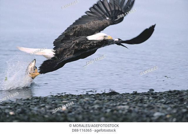 Bald Eagle  (Haliaeetus leucocephalus) fishing