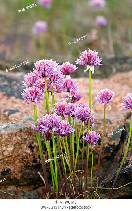 chives, sand leek (Allium schoenoprasum), blooming chives, Finland, Aland Inseln