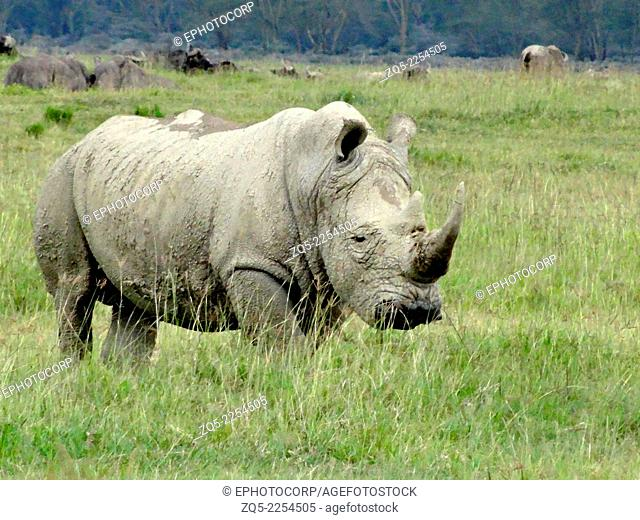 Square lip rhinoceros, Ceratotherium simum. The species overall is classified as critically endangered. The white rhinoceros has square lips used for eating...