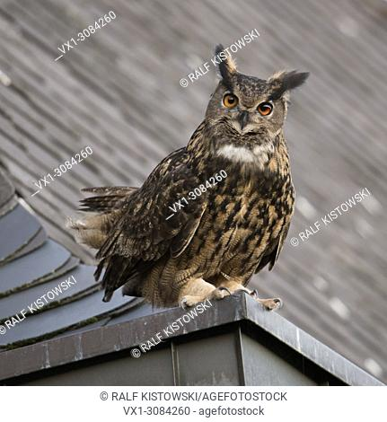 Eurasian Eagle Owl ( Bubo bubo ) adult male, sitting, perched, courting on top of a roof, old church, curious, looks funny, wildlife, Europe