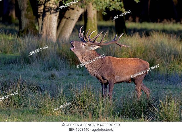 Red Deer (Cervus elaphus) belling in forest, Germany