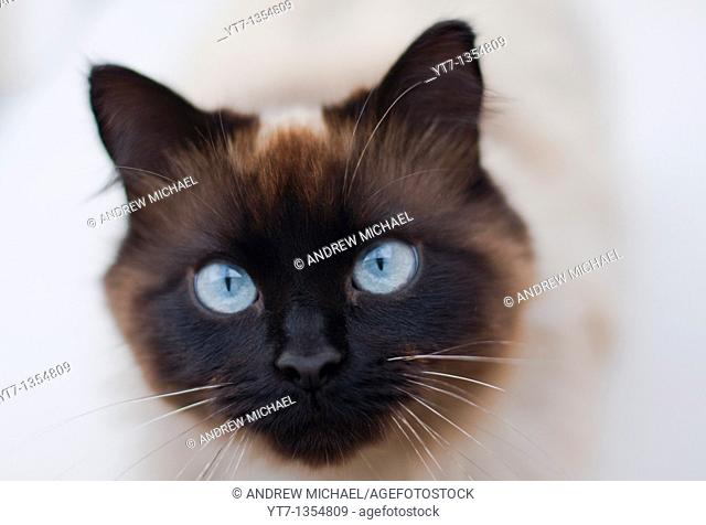 Domestic cat of 'Ragdoll' breed closeup