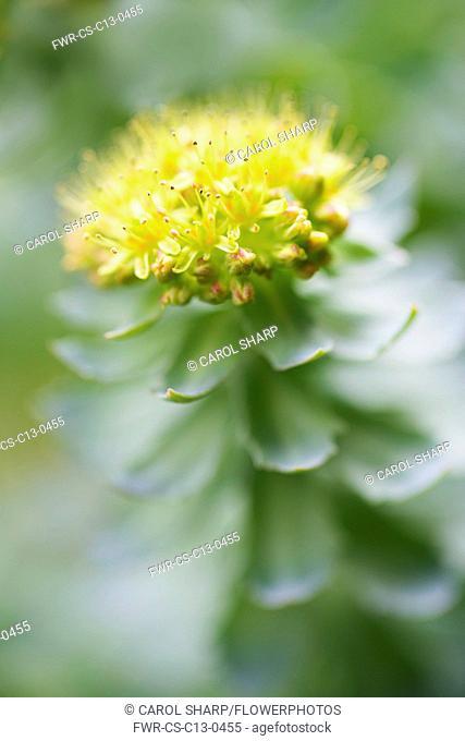 Rose root, Rhodiola rosea, used in herbal medicine. Close up of single flower head, selective focus