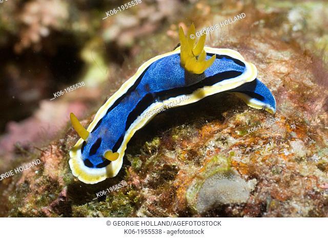 Nudibranch - Chromodoris annae. Superfamily Cryptobranchia, family Chromodorididae. Rinca, Komodo National Park, Indonesia