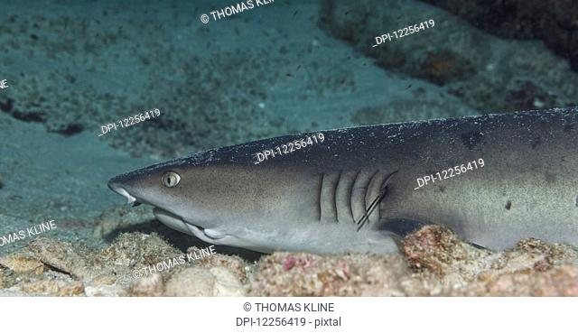 A Whitetipped Reefshark (Triaenodon obesus) resting on the bottom, near Kona; Island of Hawaii, Hawaii, United States of America
