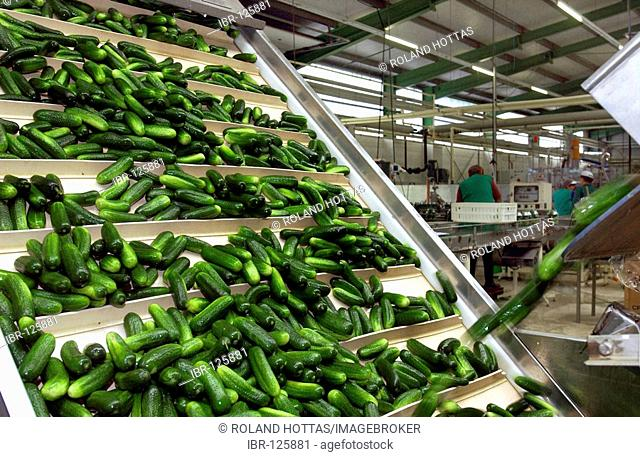 Handling of cucumbers in the company RABE in Luebbenau, Spreewald, Brandenburg, Germany