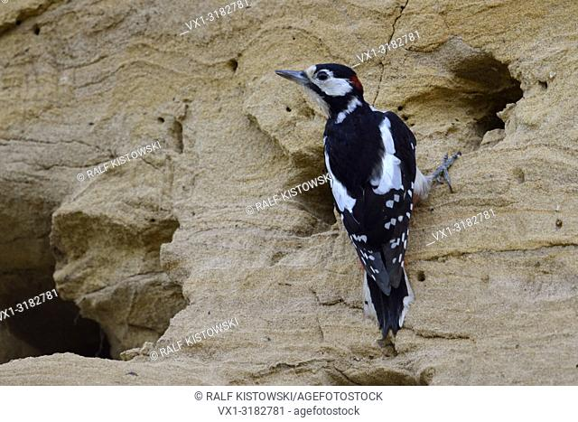 Greater / Great Spotted Woodpecker ( Dendrocopos major ) adult male, nest robber, searching for food in a Sand Martin ( Bank Martin ) colony