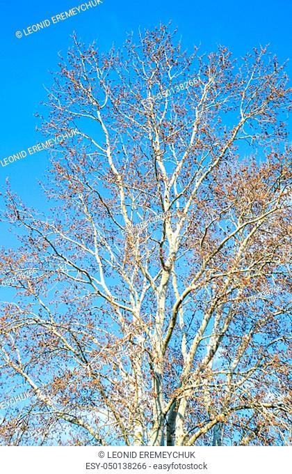 Blooming silver poplar. Silver poplar tree in spring. Poplar fluff from flowers - earrings