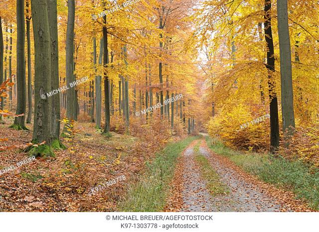Path in forest, Beech trees in autumn, Spessart, Germany, Europe