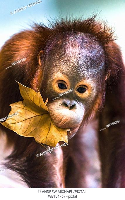 Cute baby orangutan playing