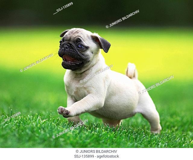 pug - puppy running on meadow restrictions: Tierratgeber-Bücher / animal guidebooks