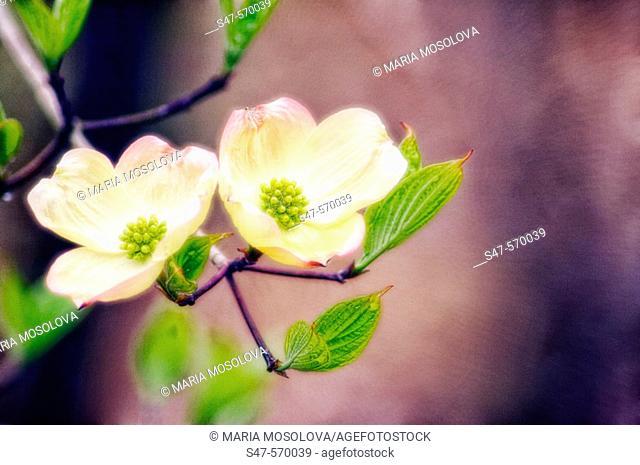 White Dogwood Blossom. Cornus florida, white. April 2005, Maryland, USA