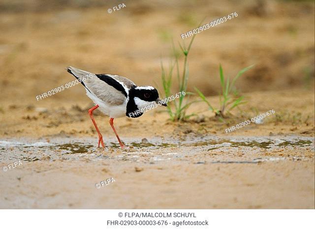 Pied Lapwing Vanellus cayanus adult, foraging on sandbank, Pantanal, Mato Grosso, Brazil