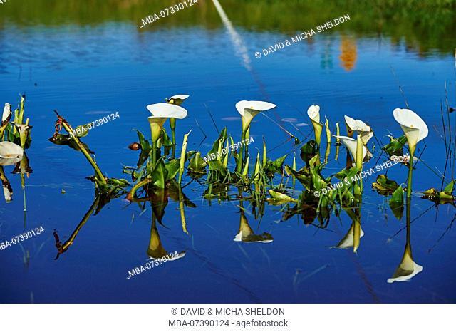 Calla, bog arum or marsh calla (Calla palustris), flower, Victoria, Australia, Oceania