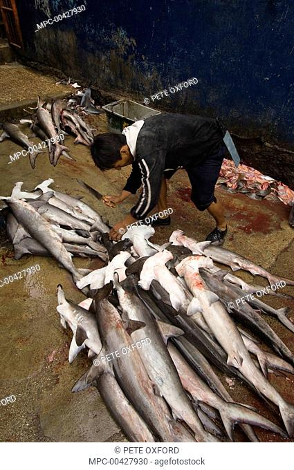 Smooth Hammerhead Shark (Sphyrna zygaena) juveniles in the area's largest fish market for artisanal fishermen, Santa Rosa Fishing Village, Santa Elena Peninsula