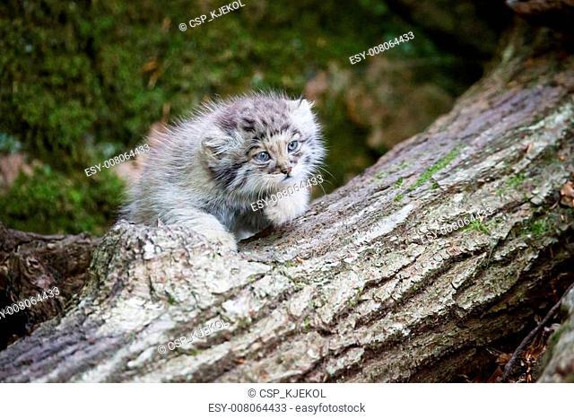 Cute pallas cat kitten playing