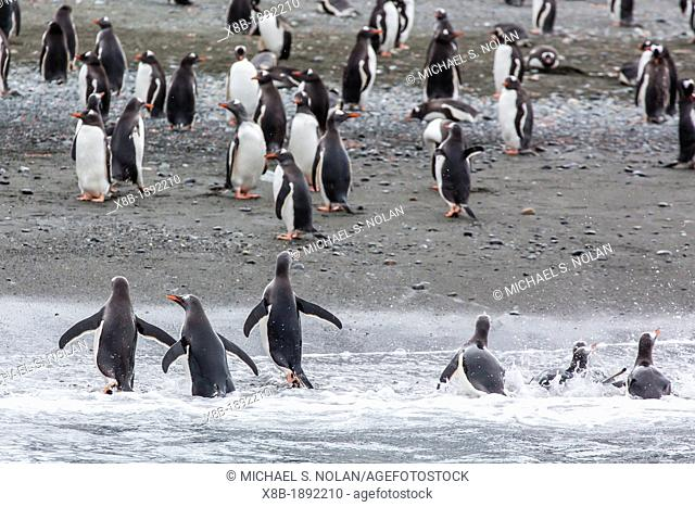 Adult gentoo penguins Pygoscelis papua heading to the shore in Cooper Bay, South Georgia, South Atlantic Ocean
