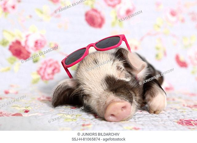 Domestic Pig, Turopolje x ?. Piglet (1 week old) wearing sunglasses, sleeping. Studio picture against a blue background with rose flower print