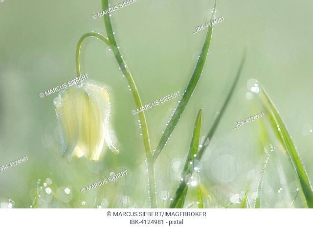 White Snake's head fritillary (Fritillaria meleagris), Hesse, Germany