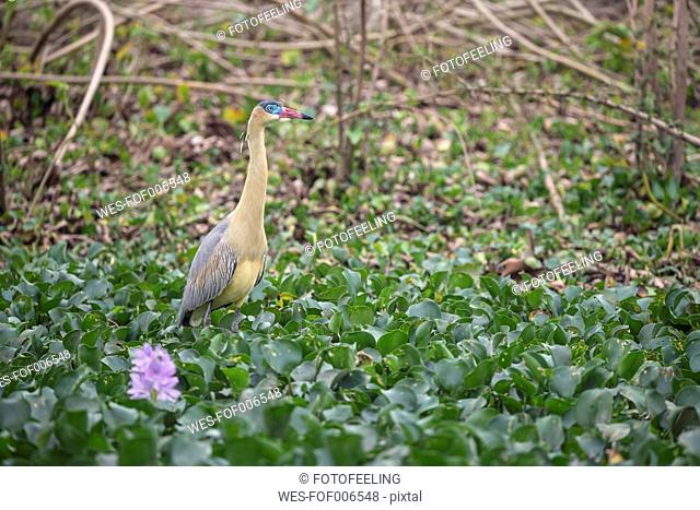 South America, Brasilia, Mato Grosso do Sul, Pantanal, Whistling Heron, Syrigma sibilatrix