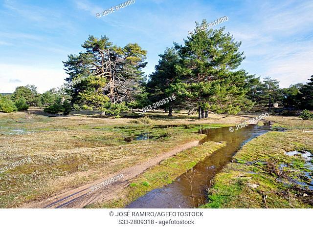 Pines in the Sierra de Malagon. Peguerinos. Avila. Castilla Leon. Spain. Europe