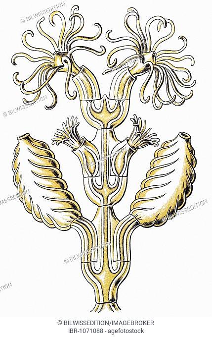 Historic illustration, tablet 25, title Sertulariae, marine cnidaria, name Diphasia, 6/ Synthecium campylocarpum, part of a branch, Ernst Haeckel