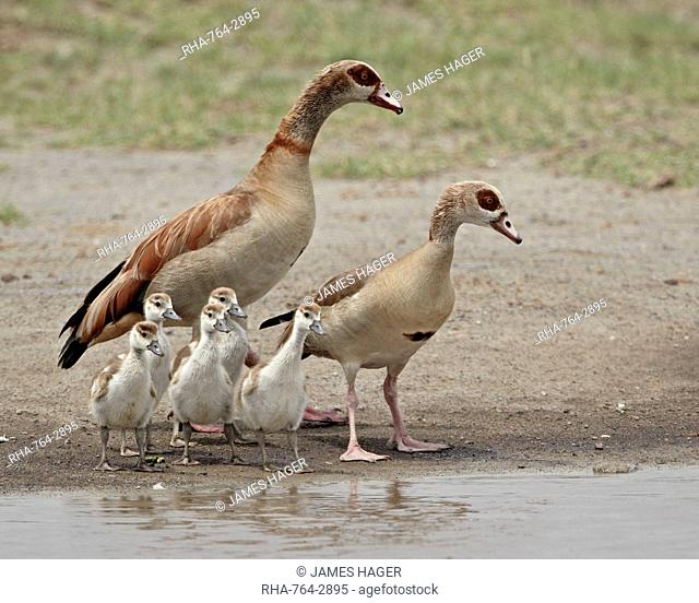 Egyptian goose Alopochen aegyptiacus adults and chicks, Serengeti National Park, Tanzania, East Africa, Africa
